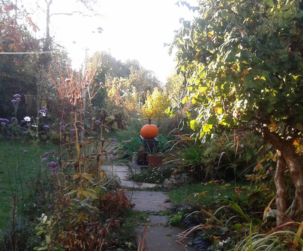 pumpkin-riperning